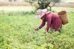 Birman ramassant des piments.
