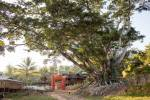 Un banyan tree.